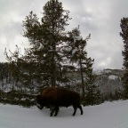 Just Back From Yellowstone Snowmobile Trip.